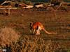 Red Kangaroo    at Sunset