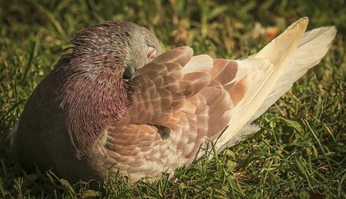 Pigeon Beauty by hfpicc via I {heart} Rhody