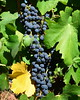 Kunde Grapes by pjpink