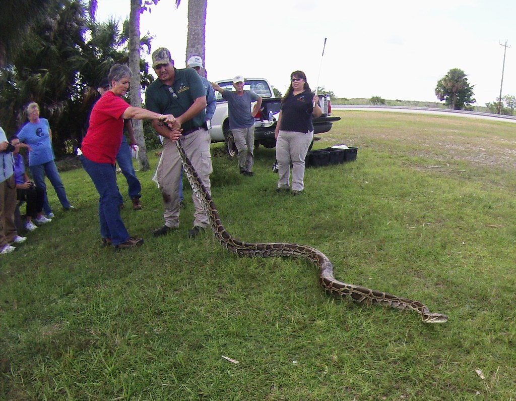 This Burmese Python's Got the Power! FWC Python Challenge In-Person Training, Big Cypress National Preserve, Fla. Oct. 24, 2015
