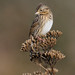 Lincoln's Sparrow by Wes Aslin