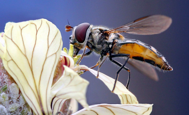 Hover Fly pollinating
