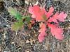 Spotting Bits of Red Oak Color