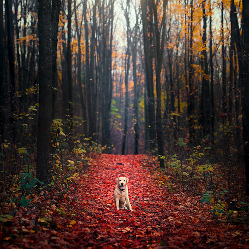 fall autumn forest leaves red yellow trees woods outdoor dog dogphotography labrador