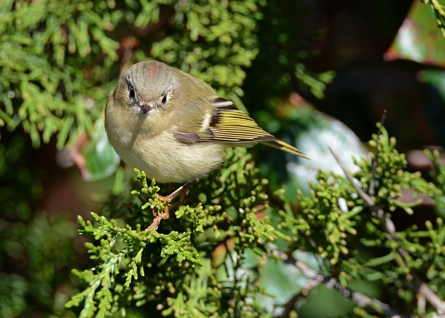 Ruby-crowned Kinglet (Explored 10/20/2016)