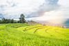 Terrest Rice field, Chiangmai Thailand