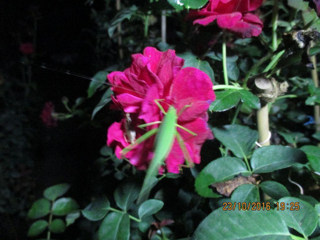 Bọ cánh cừng thường ăn hoa hồng có màu vàng trắng...còn ông vạc sành này thì không từ 1 bông hoa nào hết