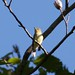 Nick Pulcinella has added a photo to the pool:Empidonax speciesRushton Woods Preserve, Chester Co., PA  August 27, 2015 Yellow-bellied vs Acadian Flycatcher. Nice pick-up by Kelley Nunn of this mostly still bird perched in the tree canopy. Empidonax type flycatcher mostly green above and yellowish below. Views were all from below. The yellowish color on the underparts extended in an unbreakable pattern from belly through to and including the throat. Lower mandible light orange through the entire length. Primary projection could not be appreciated from this angle and tail seemed short. Head was round with a clearly visible pale eyering that widened behind the eye. No vocalizations heard. In the field, the bird gave the impression of YBFL but after viewing the images, the subtleties that would rule out ACFL (head shape, eyeing shape & size and vested appearance) cannot be unequivocally eliminated. ebird.org/ebird/view/checklist?subID=S24777405