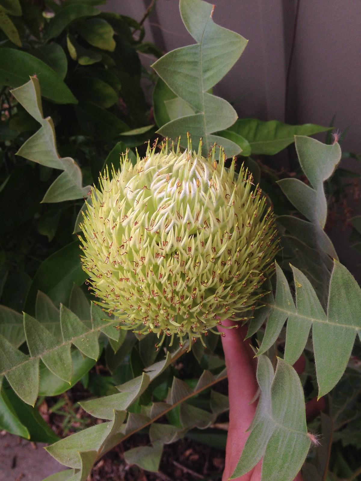 Banksia baxteri