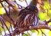 northern pygmy owl at Cave Creek Canyon AZ 854A9909 by lreis_naturalist