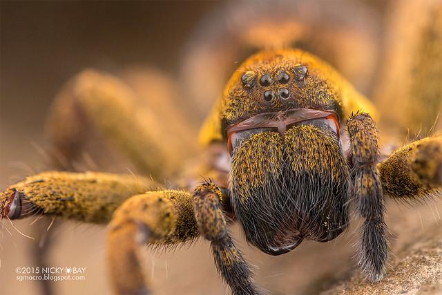 Wandering spider (Ctenus sp.) - DSC_1865