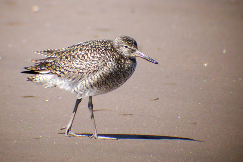bird wildlife birding ornithology birdwatching oiseau willet faune ornithologie chevaliersemipalmé