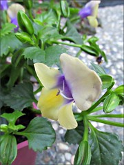 Torenia Hybrid