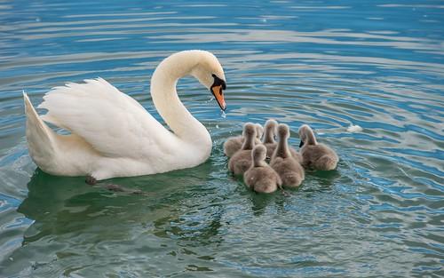 swan's family (10)