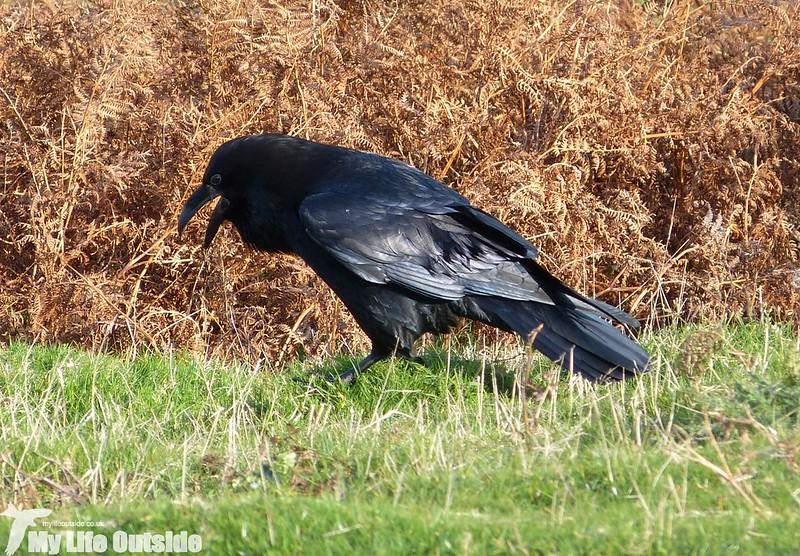 P1150962 - Raven, Gower
