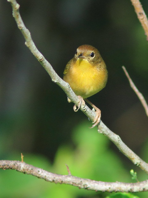 Common Yellowthroat female 2-20151014