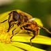 Drone Hoverfly III by Dalantech
