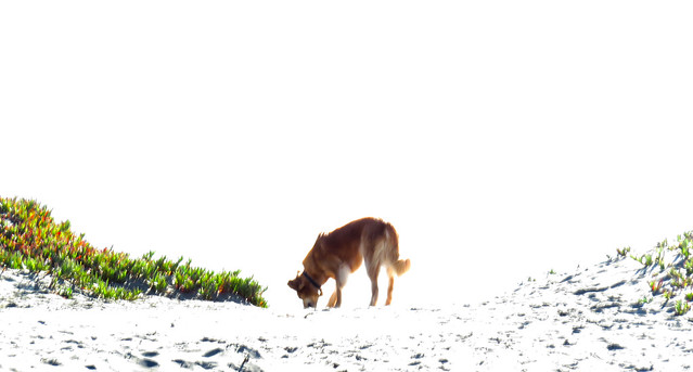 dog on Ocean Beach, San Francisco (2015)