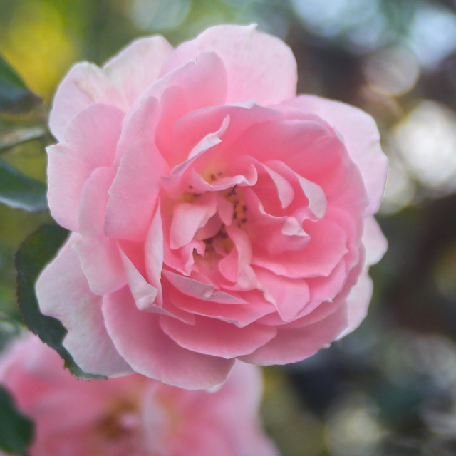 Photo:Rose, Cynthia Westcott, バラ, シンシア ウェストコット, By T.Kiya