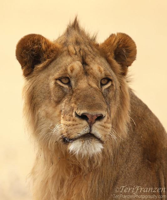 Young Lion Portrait (Explore 10/20/2016)