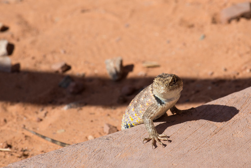 Banded Collared Lizard
