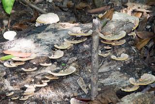 Imagen de Cairns Botanic Gardens. bracketfungus fleckergardens cairnsbotanicgardens cairns queensland australia