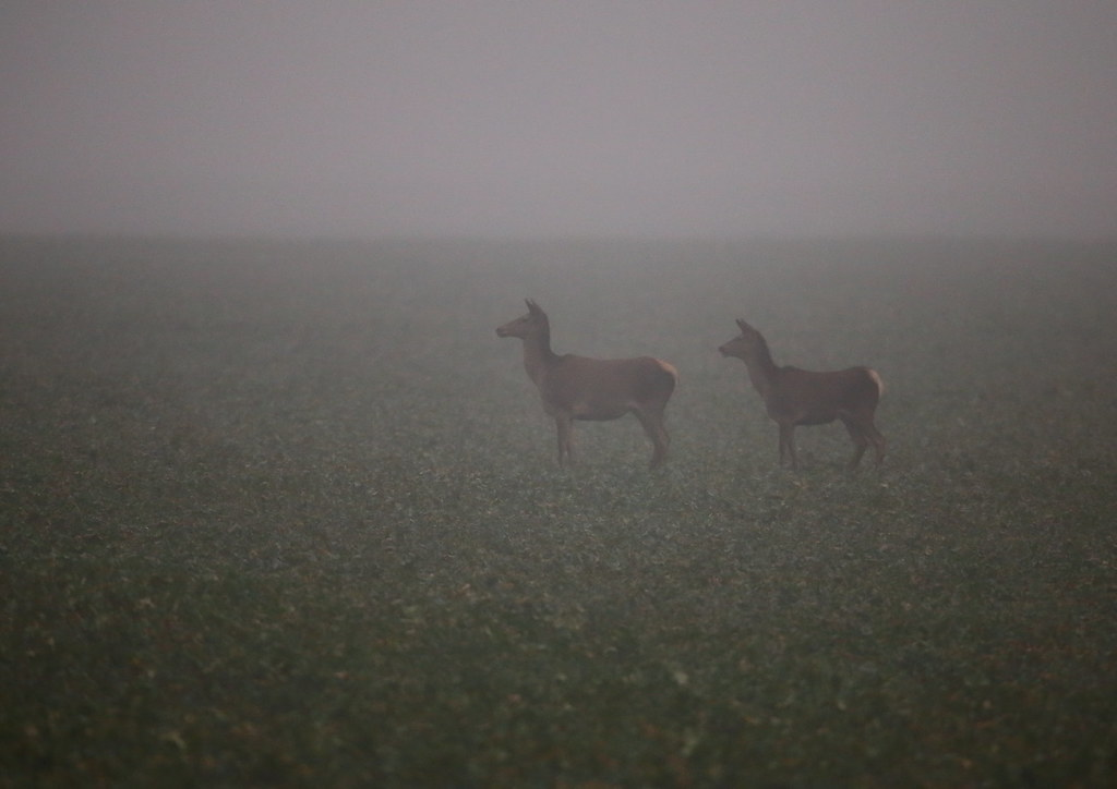 hinds on foggy field 2