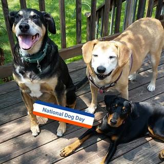 Happy #NationalDogDay from Tut, Sophie and Penny! #rescueddogsofinstagram #rescuedismyfavoritebreed #muttstagram #puppygram #dogstagram #seniordog #coonhoundmix #houndmix #dobermanpuppy #dobiemix #rescuedpuppiesofinstagram #instadog #instapuppy #seniordog