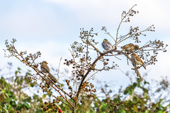 Sparrows in the berry patch