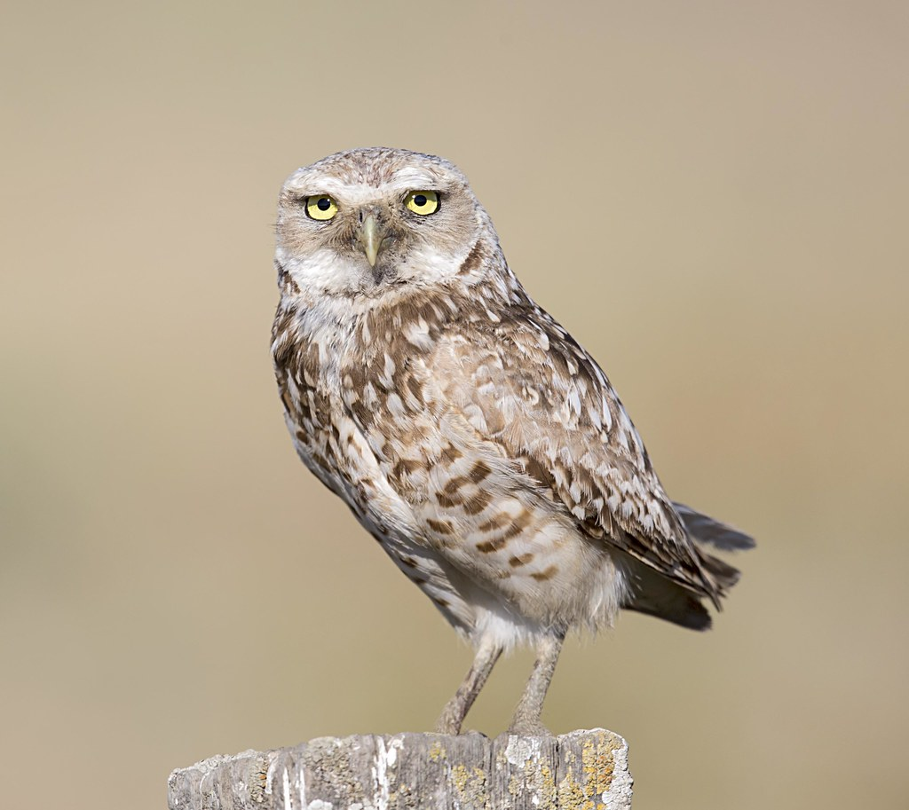 burrowing owl - Coyote Valley Open Space Preserve