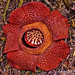 Critically Endangered - Rafflesia arnoldii by Adriansyah Putera