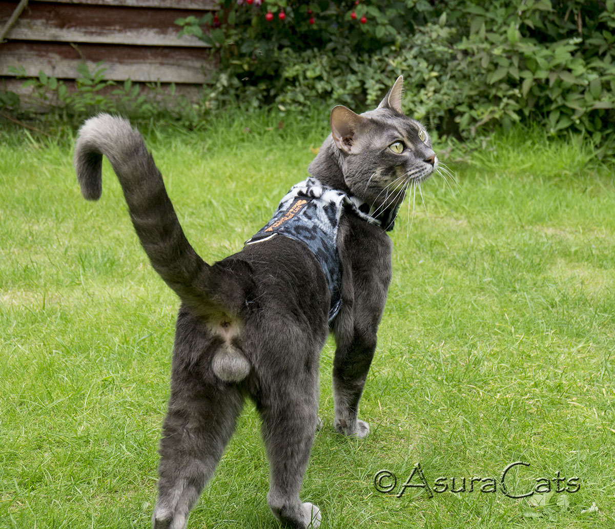 PureBengalsGB Baloo AsuraCats - Charcoal Blue rosetted Bengal