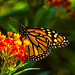monarch on our milkweed by Connie Sue2