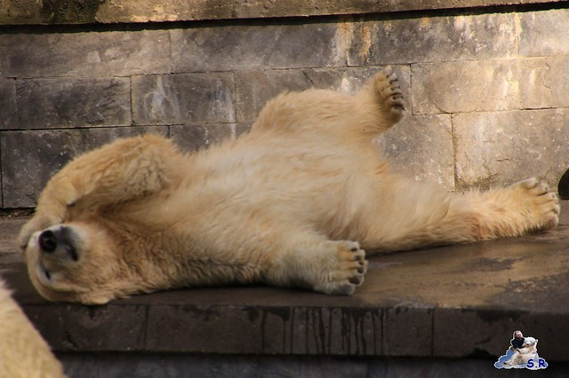Eisbär Fiete im Zoo Rostock 26.09.2015   0243
