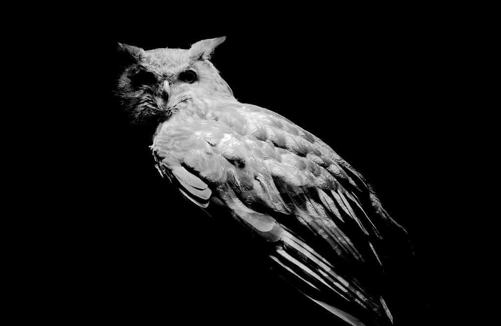 Eagle Owl_12