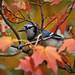 Blue Jay in Sugar Maple by River Wanderer
