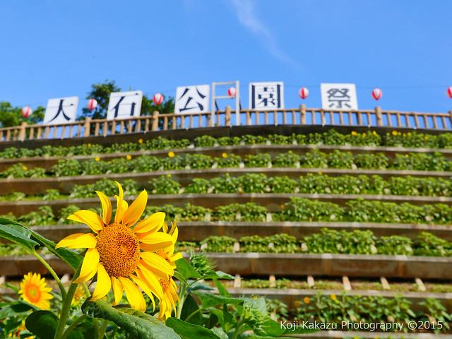 第2回大石公園ひまわり祭り2015-49