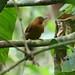 Peru: Peruvian Recurvebill by spiderhunters