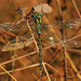 Small photo of Shadow Darner - Aeshna umbrosa, Mason Neck, Virginia