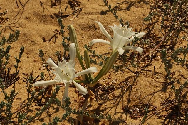 Pancratium maritinatum