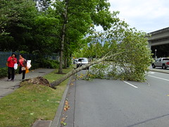 Tree Uprooted on University Drive, Surrey