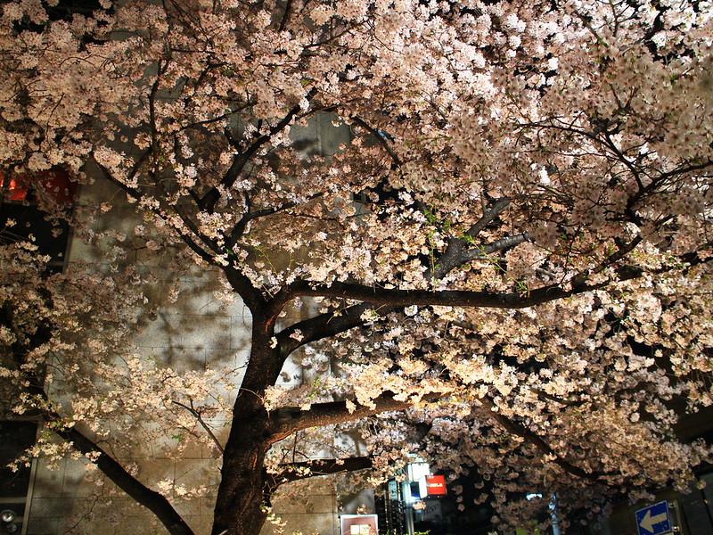 0403_祇園白川夜櫻 (12)