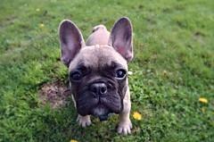 dog breed, animal, dog, pet, australian bulldog, toy bulldog, french bulldog, carnivoran, bulldog,