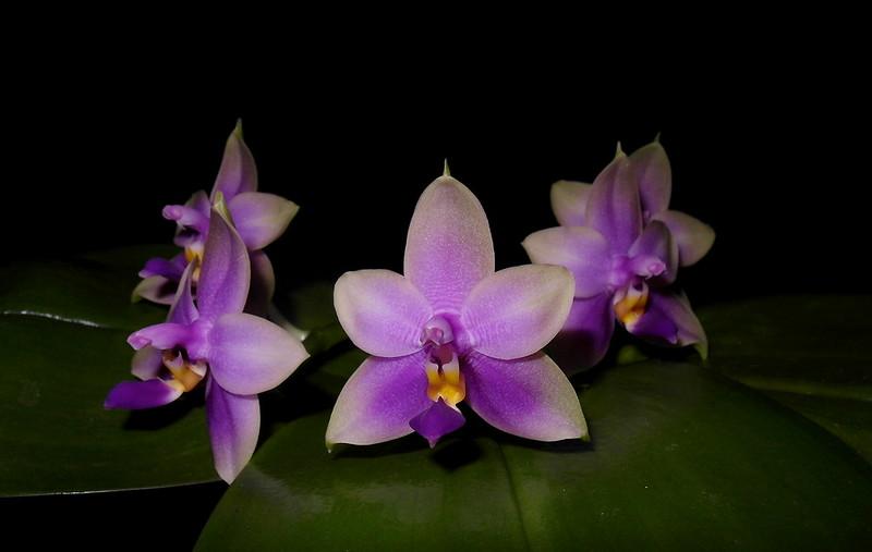 Phalaenopsis bellina x violacea (Samera) - Seite 2 21096241989_3016e7747f_c