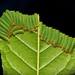 "Early- to Mid-instar Stinging Nettle Slug Caterpillars (Cup Moth, Limacodidae) ""Triple Streak"" by John Horstman (itchydogimages, SINOBUG)"