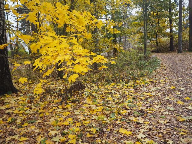 luonto, nature, suomi, finland, vaahtera, puu, lehti, lehdet, syksy, autumn, kaunis, keltainen, beautiful, kuva, pic,