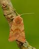 Flounced Chestnut Agrochola helvola by Iain Leach