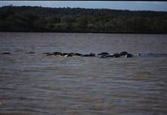 Hippopotamus amphibius DT [ZA St Lucia] 0112 (4)