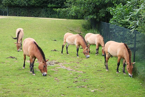 Przewalski horses eating grass