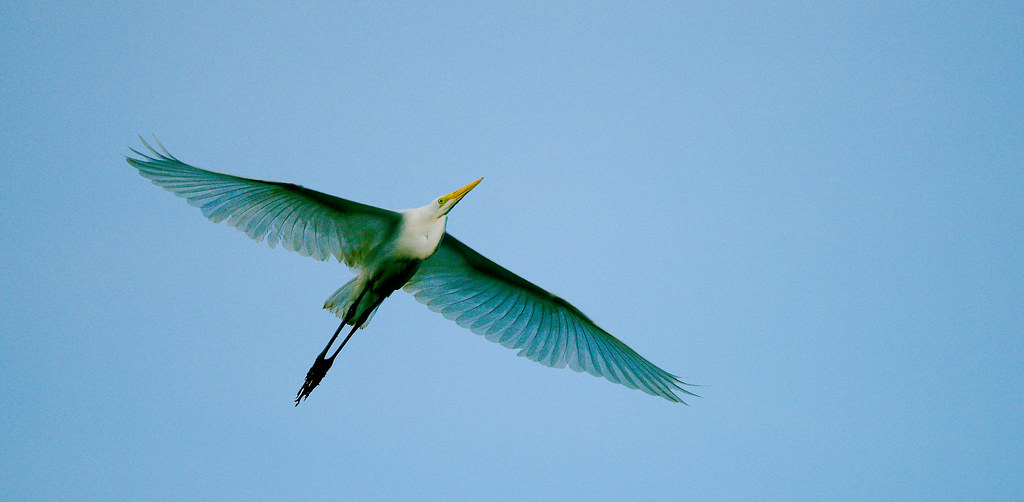 Great Egret (Ardea alba)_56